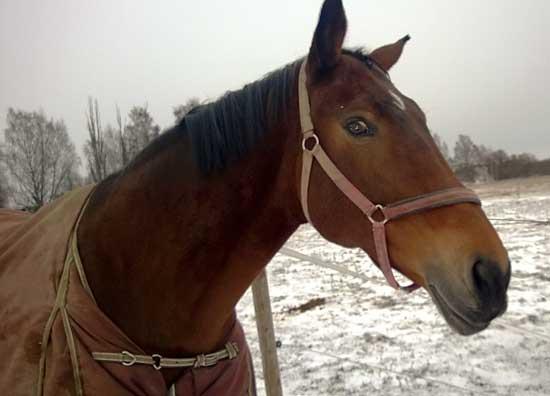 Lur häst